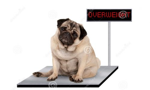 heavy-fat-pug-puppy-dog-sitting-down-vet-scale-overweight-led-sign-isolated-white-background-95591502 (2)